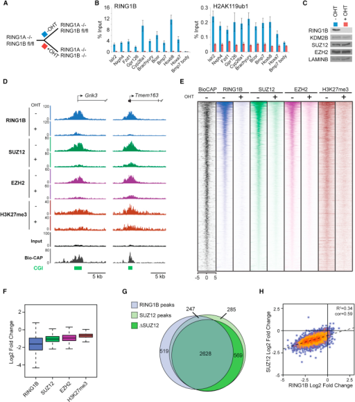 PRC1 Has a Genome-wide Role in PRC2 Recruitment and Polycomb Domain Formation at Target Sites in Mouse ESCs(A) A schematic of the Ring1a−/−Ring1bfl/fl system in which addition of tamoxifen (OHT) leads to deletion of RING1A/B.(B) ChIP analysis for RING1B and H2AK119ub1 at polycomb target sites before (−OHT) and after 48 hr (+OHT) tamoxifen treatment. ChIP experiments were performed at least in biological duplicate with error bars showing SEM.(C) Western blot analysis of polycomb factors following deletion of RING1A/B.(D) Snapshots of ChIP-seq traces for RING1B, SUZ12, EZH2, and H3K27me3 in the Ring1a−/−Ring1bfl/fl cells prior to (−OHT) and following 48 hr +OHT treatment at the Grik3 and Tmem163 genes. Bio-CAP indicates nonmethylated DNA and CpG islands (CGI) are shown as green bars.(E) Heat map analysis of SUZ12 peaks (n = 3,819), showing ChIP-seq data for RING1B, SUZ12, EZH2, and H3K27me3 at a 10 kb region centered over the SUZ12 peaks prior to (−OHT) and after 48 hr +OHT treatment. Bio-CAP is included to indicate nonmethylated DNA at these sites.(F) A box and whisker plot showing log2 fold changes in normalized read counts comparing the ChIP-seq signal at SUZ12 sites −OHT and after 48 hr +OHT treatment.(G) A Venn diagram showing the overlap of RING1B (light blue) and SUZ12 (light green) peaks including a further segregation of SUZ12-bound regions that show a greater than 1.5-fold change in SUZ12 occupancy (ΔSUZ12, dark green) after 48 hr tamoxifen treatment (+OHT).(H) A scatter plot comparing the fold change of RING1B and SUZ12 at SUZ12 peaks −OHT and after 48 hr +OHT treatment.See also Figures S2 and S3.