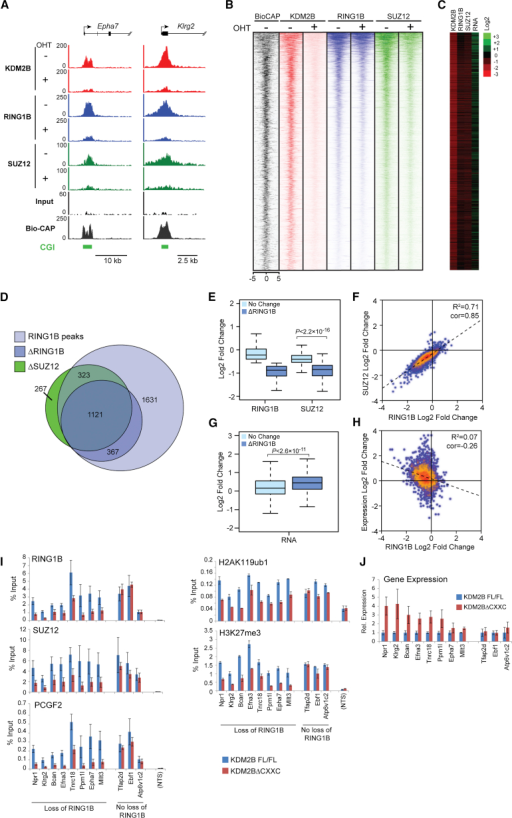 Failure to Target the PCGF1/PRC1 Complex Leads to a Loss of H2AK119ub1, PRC2, and H3K27me3(A) Snapshots of ChIP-seq traces for KDM2B, RING1B, and SUZ12 in the Kdm2bfl/fl cells prior to (−OHT) and after 72 hr (+OHT) of tamoxifen treatment at the Epha7 and Klrg2 genes.(B) Heat map analysis of RING1B peaks (n = 3,488), showing ChIP-seq data for KDM2B, RING1B, and SUZ12 covering a 10 kb region centered over the RING1B peak −OHT and after 72 hr +OHT.(C) Log2 fold changes in normalized read counts comparing the ChIP-seq and RNA-seq signal −OHT and after 72 hr +OHT.(D) A Venn diagram showing all RING1B peaks (light blue), intersected with RING1B or SUZ12 peaks that have a greater than 1.5-fold reduction in RING1B/SUZ12 occupancy after 72 hr +OHT treatment (ΔRING1B [dark blue] and ΔSUZ12 [green]).(E) A box and whisker plot indicating the log2 fold change in RING1B and SUZ12 occupancy at sites that have RING1B changes of greater than 1.5-fold (ΔRING1B) or less than 1.5-fold (No Change) following 72 hr +OHT treatment. The significance of the changes in SUZ12 occupancy at these sites is indicated above the plot.(F) A scatter plot comparing the log2 fold change of RING1B and SUZ12 at RING1B sites in the Kdm2bfl/fl cells −OHT and after 72 hr +OHT.(G) A box and whisker plot indicating log2 fold change in gene expression at sites described in (E).(H) A scatter plot comparing the log2 fold change of gene expression to the fold change in RING1B occupancy at sites that show RING1B alterations.(I) ChIP analysis for polycomb factors and modifications at regions showing loss of RING1B, no significant loss of RING1B, and a nontarget site (NTS). All ChIP experiments were performed in biological triplicate with error bars showing SEM.(J) Gene expression analysis for the target genes analyzed by ChIP in (I). RT-PCR was performed in biological triplicate. Error bars show SEM.