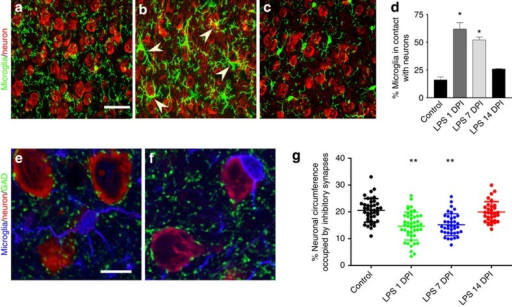 Activated microglia target cortical neurons and displace inhibitory synapses from neuronal soma.(a–c) Confocal micrographs show morphological changes of microglia (green) following multiple LPS injections. Arrowheads indicate microglia enwrapping neuronal cell bodies (red). Scale bar, 40 μm. (d) Quantification of the percentage of microglia in contact with neurons. N=3 per group. (e,f) Triple labelling of microglia (blue), neurons (red) and GAD+ inhibitory synapses (green). Scale bar, 10 μm. (g) Quantification of the percentage of neuronal circumference occupied by inhibitory synapses over the indicated time course. N=31 to 55 neurons sampled from six individual mice per group. Error bars represent s.e.m. *P<0.05; **P<0.01 compared with control group using a one-way ANOVA test.
