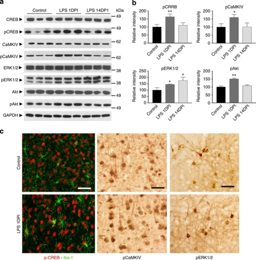 Increased neuronal synchronization is associated with increased phosphorylation of CREB.(a) Comparison of total and phosphorylated forms of CREB, CaMKIV, ERK1/2 and Akt in cortices from PBS-injected mice at 1DPI (control) and LPS-injected mice at 1 or 14 DPI. GAPDH was used as protein loading controls. Full western blot images are shown in Supplementary Fig. 6. (b) Densitometry quantification of a with the relative intensity of the controls set as 100%. (c) Immunohistochemistry demonstrates the enrichment of pCREB, CaMKIV and ERK1/2 in cortical neurons of LPS-injected mice at 1 DPI. Data are presented as mean+s.e.m. *P<0.05, **P<0.01; one-way ANOVA. Scale bar, 40 μm.