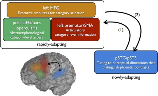 Neural systems for the perception and learning of speech sound categories. Fine-grained sensitivity to acoustic dimensions that distinguish native speech sounds (e.g., VOT) is found in the posterior superior temporal gyrus (pSTG) and superior temporal sulcus (STS), which includes preferential sensitivity to speech categories, but, to a lesser degree, also sensitivity to within-category variation. In perception, sounds which are not well-categorized by this tuning (e.g., ambiguous sounds) feed forward to categorical-level coding in the frontal lobe (1). For non-native category learning which relies on top-down feedback, category sensitivities may emerge first in the frontal lobe, then feed back to posterior temporal areas to guide long-term changes in perceptual sensitivity (2). This frontal-to-temporal feedback corresponds to the top-down learning route shown in the bottom left portion of Figure 1.