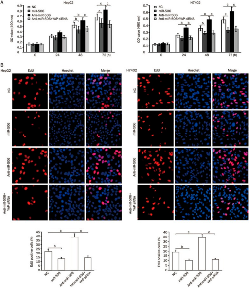 MiR-506 suppresses the proliferation of hepatoma cells by inhibiting YAP. (A and B) HepG2 and H7402 cells were transfected with NC (negative control), miR-506, anti-miR-506, or YAP siRNA. The effect of miR-506 on cell proliferation was determined by MTT and EdU assays. Statistically significant differences are indicated: bP<0.05 and cP<0.01; Student's t test.