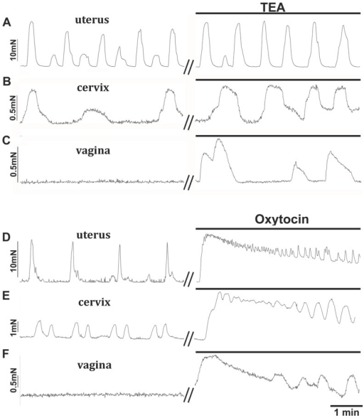 Contractile responses recorded in response to the potassium channel blocker tetraethylammonium chloride (TEA) or an agonist (oxytocin) on cervical and vaginal smooth muscle with uterine data presented for comparative purposes.Application of TEA (10 mM) enhanced spontaneous contractions in uterine (A) and cervical (B) tissues and caused vaginal (C) and cervical tissues in diestrus and proestrus (data not shown) to become spontaneously active. Application of oxytocin (1 nM) to uterine (D), cervical (E) and vaginal (F) tissues caused a large contraction that gradually decreased revealing spontaneous contractions at high frequency for all three tissues.