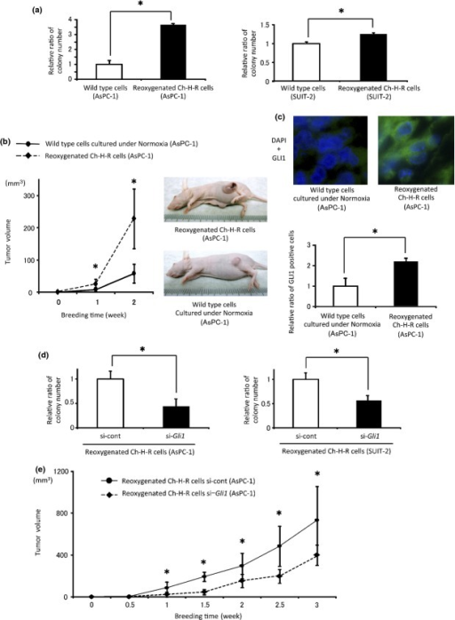 Reoxygenation enhances tumorigenicity by Gli1 in vivo. (a) Colony number in wild type cells and reoxygenated Ch-H-R cells was evaluated (n = 3). (b) Wild-type cells cultured under normoxia and reoxygenated Ch-H-R cells derived from AsPC-1 were implanted into flank regions of BALB/c nude mice. Tumor volume was evaluated at the indicated day (left panel) (n = 6). Representative images of tumor-bearing mice (right panels). (c) GLI1 expression in tumors from each mouse was determined by immunofluorescence staining (upper panels) (×630). The graph shows relative ratio of GLI1 positive cells in tumors (lower panel). (d) Colony number in Gli1 siRNA transfected-reoxygenated Ch-H-R cells was estimated (n = 3). (e) Control or Gli1 siRNA-transfected-reoxygenated Ch-H-R cells derived from AsPC-1 were implanted into flank regions of BALB/c nude mice. Tumor volume was evaluated on the indicated day (n = 6). The graph shows mean ± SD. *P < 0.05.