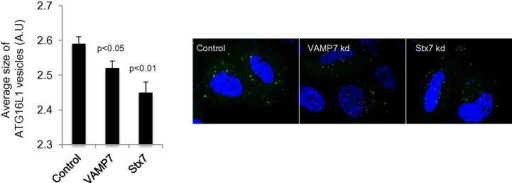 Size of ATG16L1 vesicles in VAMP7 and Syntaxin7 knockdown cells.