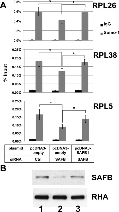Expression of SAFB1 from a transfected plasmid rescued SUMOylation of promoter-bound chromatin. (A) A second set of siRNAs targeting the 3′-UTR of SAFB1 and the coding region of SAFB2 along with plasmid vector or plasmid for the expression of SAFB1 as indicated were transfected into HeLa cells. ChIP using control IgG (black) or SUMO-1 (gray) specific antibody was probed by qPCR for the promoters of the indicated genes. (B) Immunoblots for SAFB (top) or the unaffected loading control, RNA helicase A (RHA; bottom) were analyzed for control siRNA plus empty vector (lane 1), SAFB siRNAs plus empty vector (lane 2), and SAFB siRNAs plus SAFB1 expression plasmid (lane 3).