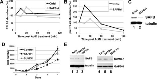 SAFB depletion does not affect the stability of the precursor or mature mRNA of RPL26 gene. (A–C) HeLa cells were transfected with SAFB or control siRNA for 48 h and then treated with either 2 μg/ml of actinomycin D (ActD) or DMSO as a control. The amount of RPL26 mRNA was monitored by qRT-PCR (panel A). Results show the concentrations of RNA species as the average of three independent replicates normalized to the concentration of the RNA in the DMSO vehicle sample. The abundance of intron-containing RPL26 pre-mRNA was monitored by qRT-PCR (panel B), and immunoblots from SAFB depletions were assessed (panel C). (D–E) The growth of HeLa cells following depletion of SAFB or SUMO-1 was assessed. Forty-eight hours post transfection with the siRNA, 10 000 cells were plated per well on day 0. Cell number was counted on days 1–4, as indicated. Results from three independent replicates are shown (panel D). T-test analysis was used to evaluate whether the growth rates were significantly different, and the p-value for comparing SUMO-1 depletion to the control depletion was 0.392 and for SAFB 0.153. Immunoblots taken at day 0 are shown (panel E).