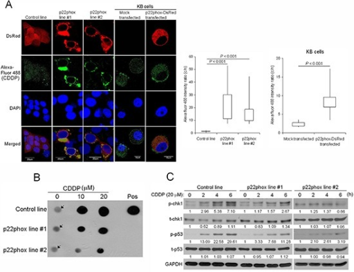 Reduced CDDP uptake into the nucleus, CDDP-DNA adduct formation and chk1-p53 activation in p22phox stable lines(A) CDDP distribution and localization was monitored by Alexa Fluor 488 fluorescence in p22phox stable lines and p22phox-overexpressing KB cells using confocal microscopy. Magnification: 1000X. The respective cytoplasmic and nuclear fluorescence intensity in each cell was measured by Olympus Fluoview Viewer (Ver. 3.0 software). The average cytoplasm-to-nucleus intensity ratios were determined from the randomly selected 24, 20, 21, 21 and 12 cells in control line, p22phox stable line #1, p22phox stable line #2, mock transfected KB and p22phox-DsRed transfected KB, respectively. The quantitative results and statistical analysis were shown in the right panels. (B) The p22phox stable lines and the control line were treated with 10 or 20 μM CDDP overnight, and genomic DNA was isolated and analyzed by dot blot assay using anti-CDDP adducts antibody. The arrows denote non-specific background signals. (C) The cells were treated with CDDP (20 μM) for 0, 2, 4 or 6 h and the lysates were analyzed by Western blot analysis using antibodies against t-chk1, p-chk1, t-p53 and p-p53. The numbers below the blots were quantitative ratios of p-chk1, t-chk1, p-p53 or t-p53/GAPDH band intensities normalized to those without CDDP treatment. Abbreviations: c, cytoplasm; n, nucleus; pos, positive control. The experiments were repeated four times, and the representative images or data are shown.