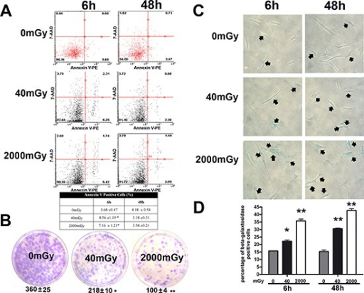Analysis of senescence, apoptosis, stemness and autophagy in irradiated MSCsPanel (A) – Flow cytometry analysis of apoptosis with Nexin assay. The experiments were carried out six and 48 hours post-irradiation. The assay allows the identification of early (Annexin V + and 7ADD −) and late apoptosis (Annexin V + and 7ADD +). Nevertheless, apoptosis is a continuous process and we calculated the percentage of apoptosis as the sum of early and late apoptotic cells, to avoid a discretional separation between early and late apoptosis. The table shows the global percentage of Annexin V-positive cells. Data are expressed with standard deviation (n = 3, *p < 0.05). Panel (B) – CFU assay. The pictures show representative crystal violet staining of clones obtained after 14 days of incubation, with MSCs plated following irradiation experiments. The mean number of clones per 1,000 cells plated in 100 mm dish (± SD, n = 3, *p < 0.05, **p < 0.01) is indicated below each picture. Panels (C, D) – Senescence assay. Representative microscopic fields of acid beta-galactosidase (blue) in irradiated and control cells are shown. Arrows indicate senescent cells. The graph shows mean percentage value of senescent cells (± SD, n = 3, *p < 0.05).