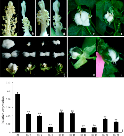 The morphological changes and GhACNAT expression analysis in transgenic GhACNAT-silenced plants and C312 plants.(a-d) the stamens and stigmas of C312 (a) and transgenic GhACNAT-silenced plants (b, c, d); (e-i) bolls of C312 (e) and transgenic GhACNAT-silenced plants pollinated with C312 pollen (f, h, i); (g) fibers and seeds of C312 and transgenic GhACNAT-silenced plants from left to right. (j) Relative expression levels of GhACNAT measured by qRT-PCR in leaves of GhACNAT-silenced plants (lines 36-2, 36-5, 36-8, 36-10, 36-11, 36-12, 36-16, 36-21 and 36-23) and in C312 plants. The Ubiquitin7 gene (GhUBQ7) was used as an internal control. The values are the means for three replicates (samples of each line collected on days 20, 35 and 50 post-infection). The asterisks indicate statistically significant differences between the transgenic GhACNAT-silenced and WT C312 plants (Significant *P < 0.05, highly significant **P < 0.01, Student's t-test).