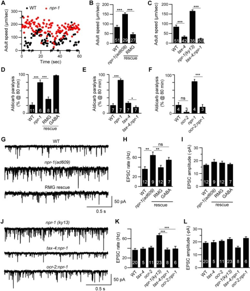 Cholinergic transmission at NMJs is enhanced by increased sensory activity in npr-1 adults.Locomotion behavior of single adult worms was analyzed for the indicated genotypes. Instantaneous locomotion velocity (A) and average locomotion velocity (B-C) are plotted. (A-C) The npr-1 adult locomotion defect was rescued by transgenes expressing NPR-1 in the RMG circuit (RMG rescue, flp-21 promoter), and suppressed in double mutants lacking TAX-4/CNG channels. (D-F) The percentage of animals paralyzed on 1 mM aldicarb at 80 min were plotted for the indicated genotypes. The number of trials is indicated for each genotype. Full time courses of aldicarb-induced paralysis are shown in S2A–S2C Fig. (D) The npr-1 aldicarb hypersensitivity was rescued by transgenes expressing NPR-1 in the RMG circuit (RMG rescue, flp-21 promoter) but not by those expressed in GABAergic neurons (GABA rescue, unc-25 and unc-30 promoters). (E-F) The npr-1 aldicarb hypersensitivity was blocked by mutations inactivating TAX-4/CNG channels or OCR-2/TRPV channels. (G-L) mEPSCs were recorded from body wall muscles of adult worms for the indicated genotypes. Representative traces of mEPSCs (G and J) and summary data are shown (H, I, K, and L). (G-I) The npr-1 cholinergic transmission defect was rescued by transgenes expressing NPR-1 in the RMG circuit (RMG rescue, flp-21 promoter) but not by those expressed in GABAergic neurons (GABA rescue, unc-30 promoter). (J-L) The npr-1 cholinergic transmission defect was abolished by mutations inactivating TAX-4 or OCR-2. The number of animals analyzed is indicated for each genotype. Error bars indicate SEM. Values that differ significantly are indicated (*, p <0.05; **, p <0.01; ***, p <0.001; ns, not significant).