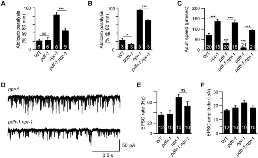 Inactivating PDF signaling does not prevent aroused locomotion in npr-1 adults.(A-B) The npr-1 aldicarb hypersensitivity was decreased but not abolished by mutations inactivating PDF-1 or PDFR-1. The percentage of animals paralyzed on 1 mM aldicarb at 80 min were plotted for the indicated genotypes. The number of trials is indicated for each genotype. Full time courses of aldicarb-induced paralysis are shown in S2D and S2E Fig. (C) Locomotion behavior of single adult worms was analyzed for the indicated genotypes. The npr-1 adult locomotion defect was not blocked by mutations inactivating PDF-1 or PDFR-1. (D-F) mEPSCs were recorded from body wall muscles of adult worms for the indicated genotypes. Representative traces of mEPSCs (D) and summary data are shown (E-F). The npr-1 cholinergic transmission defect was not suppressed by mutations inactivating PDFR-1. The number of animals analyzed is indicated for each genotype. Error bars indicate SEM. Values that differ significantly are indicated (*, p<0.05;**, p<0.01;***, p <0.001; ns, not significant).