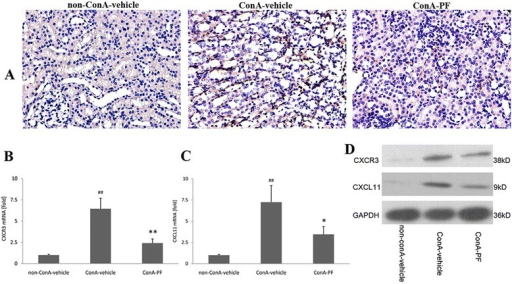 Effect of PF on CXCR3 and CXCL11 expression in conA-induced renal injury. a CXCR3 immunohistochemical staining (×400, n = 3). b CXCR3 mRNA expression was detected using real-time PCR (n = 6), c CXCL11 mRNA expression was detected using real-time PCR (n = 6), d CXCR3 and CXCL11 were detected by western-blot (n = 4). PF (30 mg/kg) was administered orally 2 h before injection of conA or vehicle for 8 h
