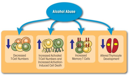 Alcohol abuse affects both the number and function of T cells. Chronic alcohol consumption decreases the number of circulating T cells, increases the number of activated T cells, accelerates differentiation of T cells to a memory phenotype, and interferes with thymocyte development.
