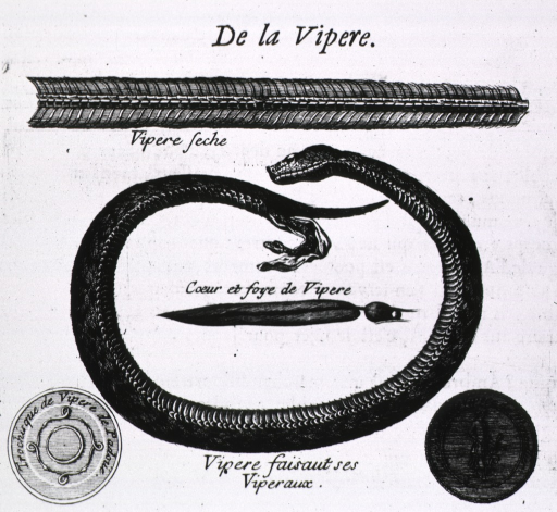 <p>Profile of a snake in a loop; giving birth; and a close-up of the underside of its skin.</p>