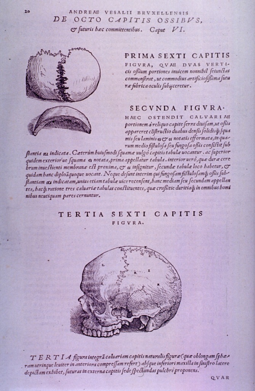 <p>Three views of sutures of the skull.</p>