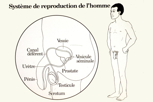 <p>White poster with black lettering.  Title at top of poster.  Visual images are line drawings.  One is a close up, side view of the penis, scrotum, and testicle, with details including the urethra, vas deferens, prostate, bladder, and seminal vesicle.  The other drawing is of a naked man, standing with hands on hips.</p>