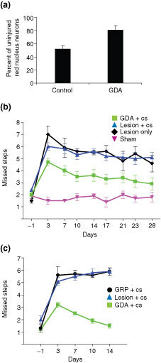 GDA transplantation suppresses atrophy of red nucleus neurons and promotes robust behavioral recovery. (a) Injured left-side red nuclei in control rats contained an average of 52% of the neurons counted in uninjured right-side red nuclei at 5 weeks after injury. The numbers of neurons in the injured left-side red nuclei of GDA-transplanted animals, however, was 81% of total neuron numbers in uninjured right-side nuclei (*p < 0.01). (b) Grid-walk analysis of locomotor recovery. Graph showing the average number of mistakes per experimental group at different time points after injury for GDA-transplanted rats versus the control-lesion and sham-operated groups. GDA-transplanted animals (green) performed significantly better than lesioned controls at all post-injury time points (p < 0.05). (c) Transplanted GRPs do not promote locomotor recovery. Graph showing the average number of grid-walk mistakes per experimental group from 1 day before injury (baseline pre-lesion) to 2 weeks after injury for a separate series of matched RST-lesioned rats that received either GRP or GDA transplants versus lesion-only control rats. Note the complete failure of locomotor recovery in GRP-transplanted animals compared with lesion-only controls at all time points and confirmation of significant locomotor recovery in response to GDA transplantation (p < 0.05). cs, cyclosporine.
