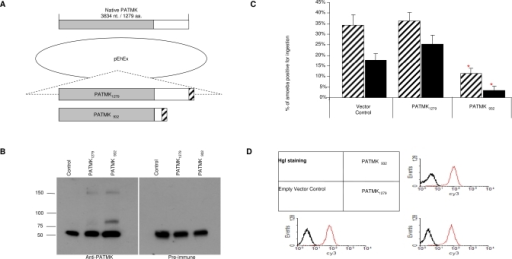 Expression of Carboxy-Truncated PATMK Reduced Ingestion of Eythrocytes by E. histolytica(A) Two constructs were assembled by PCR and cloned behind the cysteine synthase promoter in the vector pEhEx and transfected into HM1:IMSS trophozoites: a full-length, carboxy Flag epitope tagged PATMK (PATMK1279), and a truncation at residue 932, with a carboxy Flag epitope tag (PATMK_932).(B) Amebic lysates (107 cells of PATMK1279, PATMK_932, or empty vector) were subjected to immunoprecipitation using anti-Flag resin. Proteins from the IP were separated on an 8% polyacrylamide gel, transferred to PVDF and blotted with anti-PATMK or pre-immune serum. (In every lane, the heavy chain from the immunoprecipitating antibody appears at ∼50 kDa).(C) Phagocytosis of calcium-treated erythrocytes by amebae expressing PATMK_932, PATMK1279, and empty vector controls were assayed in M199S (hatched bars) or M199S competed with 55 mM D-galactose (black bars). Data are reported as means ± SD. p Values were determined by a two-tailed t-test compared to empty vector controls (*, p < 0.003, n = 6).(D) Amebic surface staining was performed on non-permeablized fixed E. histolytica trophozoites using pre-immune (bold line) or anti-Gal/GalNAc Hgl specific serum (thin line) and analyzed by flow cytometry.