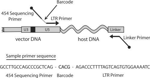 The DNA bar coding strategy. Each LTR primer used in ligation-mediated PCR contained a unique DNA barcode that specified the mouse and tissue of origin. Each barcode consists of a unique 4-bp nucleotide sequence, inserted between the sequencing primer binding site and the LTR specific primer segment. Thus all sequencing reads begin with the 4-bp barcode identifiers. A sample primer with a bar code is shown at the bottom of the diagram.