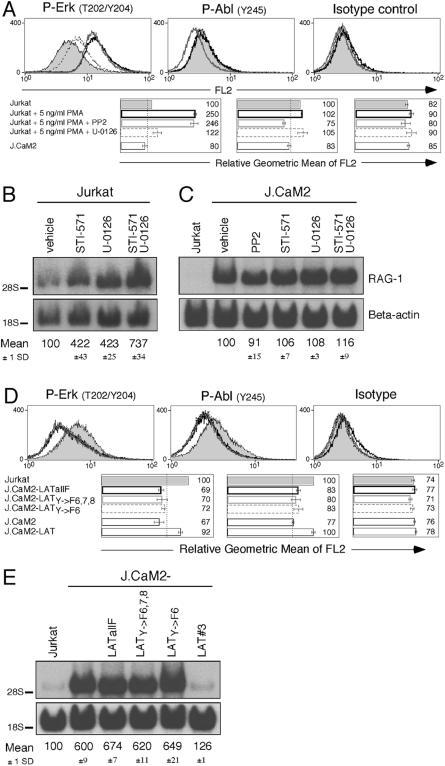Erk and Abl Synergize to Repress RAG-1 Expression and Require Tyrosine 132 in LAT(A) Jurkat T cells were stimulated with 5 ng/ml PMA for 24 h to mimic a low, constitutive MAPK signal. Intracellular FACS staining for phospho-Erk, phospho-Abl, and isotype control was performed on the indicated samples.(B) The combined effect of blocking both Abl and MEK-1 and MEK-2 on RAG-1 expression was determined by Northern blot analysis. Cells were treated for 24 h.(C) RAG-1 expression levels in LAT-deficient J.CaM2 cells treated with the designated inhibitors compared to vehicle-treated and Jurkat T cells as control.(D) Intracellular FACS analysis using phospho-Erk, phospho-Abl, and isotype control antibodies on Jurkat, J.CaM2, and J.CaM2 cells stably reconstituted with cDNA expression vectors carrying the indicated mutations in LAT.(E) Consequences of a signaling defective LAT molecule on RAG-1 mRNA levels in the specified resting cell lines. LATY→F6,7,8 reflects mutations in tyrosine residues 132, 171, and 191, whereas LATY→F6 harbors only a single mutation at tyrosine position 132.