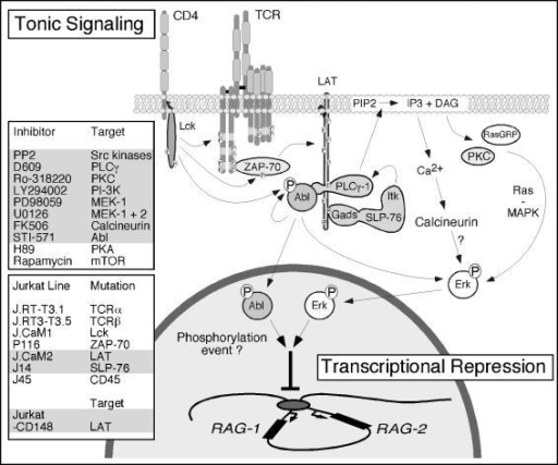 Model of the Constitutive Signaling Pathway That Provides a Basal Repression of RAG Gene TranscriptionConstitutive signaling in resting thymoytes and our model Jurkat T cell line represses RAG gene expression. Chemical inhibition of signaling molecules, genetic modifications, or induced expression of genes that resulted in elevated RAG expression are summarized in the gray-shaded boxes. The tonic signal and therefore normal expression of RAG genes rely strongly on signaling through the adapter LAT. The effects of basal phosphorylation of LAT are twofold: (1) recruitment and activation of PLCγ generates low levels of second messengers that signal through calcium and Ras pathways, culminating in Erk kinase activity; and (2) phosphorylation of tyrosine residue 6 of LAT, likely establishing a LAT–PLCγ–Abl complex, is required for low-level kinase activity of Abl. Abl and Erk kinase activities deliver unique repressive signals to control RAG gene expression.