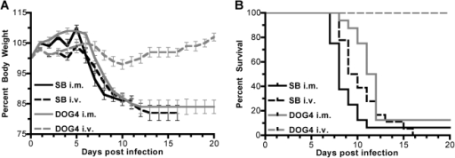 Strain and Inoculation Route Dependent Pathogenicity of SB and DOG4 in Mice.Six- to eight-week-old mice were inoculated i.m. or i.v. with 106 ffu of SB or DOG4. (A) The graph depicts the weight curves of ten mice per group as group averages (mean±standard error). Percentages relate to the body weight at the day of inoculation. (B) Kaplan-Meier plots show the survival probability per day for each experimental group. Data are combined from two independent experiments. Survival curves were statistically different (p<0.0001) between SB i.m. (n = 16) and DOG4 i.m. (n = 17), SB i.v. (n = 18) and DOG4 i.v. (n = 17) as well as between DOG4 i.m. and DOG4 i.v.