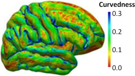 Illustration of the relation between local cortical folding patterns and the values of the curvedness measure computed for each vertex on the shape.Averaging all local curvedness measures over the entire surface provides a global curvedness index measuring the overall complexity of a shape. This figure shows the left lateral view of the cortical surface of one subject color coded by the local curvedness.
