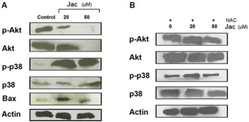 Jacaranone treatment of B16F10-Nex2 cells inhibited Akt pathway activation through ROS generation.Whole-cell extracts from B16F10-Nex2 exposed to 0 (control), 20 or 50 µM jacaranone (Jac) in the presence (A) or absence (B) of NAC were subjected to Western blotting and probed with phospho-p38, phospho-Akt, total Akt, total p38 and Bax antibodies. Protein levels were normalized to the actin level.