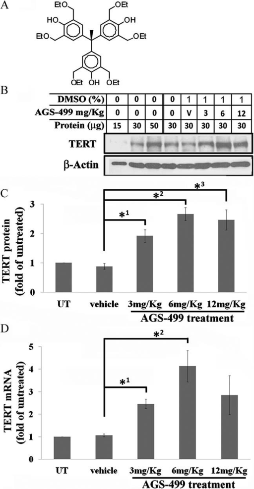AGS-499 increases TERT protein in the FB of adult mice in a dose-dependent mannerThe AGS-499 molecule.Mice were injected s.c. with different doses of AGS-499 or its vehicle DMSO. Twelve hours later, whole cell protein extract was prepared from the FB and 30 µg proteins were analysed by Western blot assay using three different anti-TERT antibodies. The results with anti-TERT monoclonal antibody (epitomic) and anti-β-actin antibody are shown.Quantification of the results was performed using densitometric analysis by the EZquant software (mean ± s.e.m.; n = 10), Student's t-test p = *10.019, *20.005, *30.021.Total RNA derived from mouse FB was examined for TERT mRNA by Real Time PCR, normalized to β-actin mRNA and the increase was calculated as fold of the vehicle (mean ± s.e.m.; n = 3, Student's t-test p = *10.016, *20.046). UT, untreated mice.