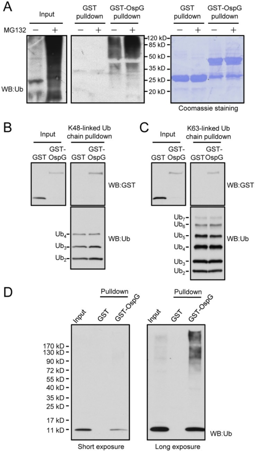 High-affinity binding between OspG and ubiquitin conjugates, poly-ubiquitin chains and free ubiquitin.(A) Pulldown of ubiquitin-conjugated proteins by purified GST-OspG. Glutathione-Sepharose beads coated with GST-OspG or GST alone were incubated with lysates of intact 293T cells or MG132- treated 293T cells. Proteins retained on the beads were eluted with SDS loading buffer and separated onto12% SDS-PAGE gels. Shown on the left are anti-ubiquitin immunoblots and on the right are Coomassie blue staining of GST or GST-OspG proteins present on the beads. (B and C) Pulldown of OpsG by K48- or K63-linked poly-ubiquitin chains. Ni-NTA Sepharose beads coated with His6-ubiquitin chains with indicated linkages were incubated with GST or GST-OspG. Proteins retained on the beads were subjected to SDS-PAGE and anti-GST immunoblotting analysis. (D) Pulldown of free ubiquitin by GST-OspG. GST or GST-OspG proteins were immobilized onto Glutathione Sepharose beads and the beads were then incubated with lysates of 293T cells. The interacting proteins eluted from the beads were resolved by 4–20% gradient SDS-PAGE gel and analyzed by anti-ubiquitin immunoblotting.