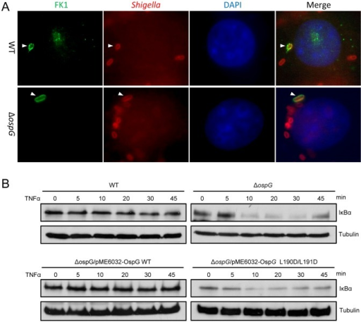 Ubiquitin binding of OspG is required for inhibiting host NF-κB signaling during Shigella infection.(A) The role of OspG in recruitment of ubiquitin to intracellular Shigella. HeLa cells were infected with wild type (WT) or ΔospG mutant S. flexneri strain. Polyubiquitinated proteins stained by the FK1 antibody (green), intracellular bacteria stained by anti-Shigella antibody (red) and DAPI-stained nuclei (blue) were visualized by fluorescence microscopy. (B) The role of OspG ubiquitin binding activity in inhibiting NF-κB activation in Shigella-infected cells. HeLa cells were infected with indicated S. flexneri strains. Infected cells were treated with TNFα to stimulate NF-κB pathway activation. Lysates of infected cell collected at indicated time points after the stimulation were subjected to anti-IκBα and anti-tubulin immunoblotting analyses.