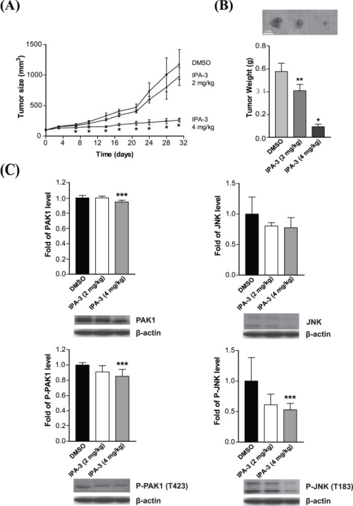 The suppressive effect of IPA-3 in nude mouse xenograft model.(A) MHCC97L cells were used for the xenograft model. Mice were treated three times weekly either with DMSO or IPA-3 (2 mg/kg or 4 mg/kg, i.p.). *P<0.001 (ANOVA) compared with the DMSO control group. (B) Tumor weights were measured at the end of study. *P<0.001, **P<0.01, (ANOVA) compared with the DMSO control group. (C) Representative results of Western blotting analysis. P-PAK1 (T423), total PAK1, P-JNK and total JNK were detected. ***P<0.05 (ANOVA) compared with the DMSO control. Error bars, mean ± SD of 5 animals per group.