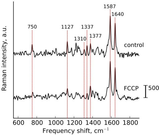 FCCP application.Raman spectra of perfused heart in control and under the application of protonophore FCCP (10 μM).