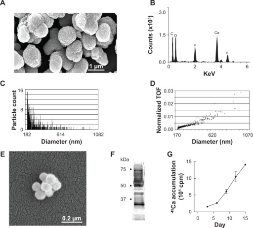 Characterization of CNPs.Notes: Scanning electron microscopy of particles (A). EDX analysis identified Ca and P (B). The size of CNPs ranged from 20 nm to about 1 μm; most CNPs averaged 210 nm (C). The largest proportion of particles relative to the total population was near the 220 nm size-range (TOF) (D). CNP demineralization revealed smaller structures (E), shown by SDS-PAGE/silver staining to be comprised of numerous proteins (F). Incorporation of 45Ca into CNPs under culture conditions in the absence of cells was nearly linear (mean ± SEM, n=6–8) (G).Abbreviations:45Ca, radiolabeled calcium; CNPs, calcifying nanoparticles; EDX, energy-dispersive elemental analysis; P, phosphate; TOF, time of flight; (SDS-PAGE), sodium dodecyl sulfate polyacrylamide gel electrophoresis.