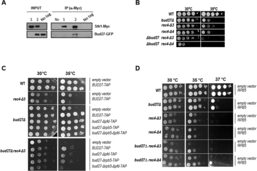 Bud27 associates with the RSC chromatin remodeling complex. (A) Sth1-Myc and Bud27-GFP co-immunoprecipitate. Sth1 was immunoprecipitated with anti-Myc antibodies and precipitates were analysed by western blot with anti-Myc and anti-GFP antibodies. 1 and 2, bud27Δ Sth1-Myc cells containing an empty vector (1) or a vector expressing Bud27-GFP (2); No tag, untagged Sth1 cells expressing Bud27-GFP from a plasmid; Nc, negative control without antibodies. (B) Growth of bud27Δ, rsc4Δ-3 and rsc4Δ-4 single and double mutants in YPD medium at the indicated temperatures. (C) Growth of wild-type and bud27Δ, rsc4Δ-3 and bud27Δrsc4Δ-3 mutants transformed with an empty vector or different BUD27 constructions in SD medium at the indicated temperatures. (D) Growth of bud27Δ, rsc4Δ-3 and rsc4Δ-4 single and double mutants transformed with an empty vector or with a vector overexpressing RPB5, in SD medium, at the indicated temperatures.