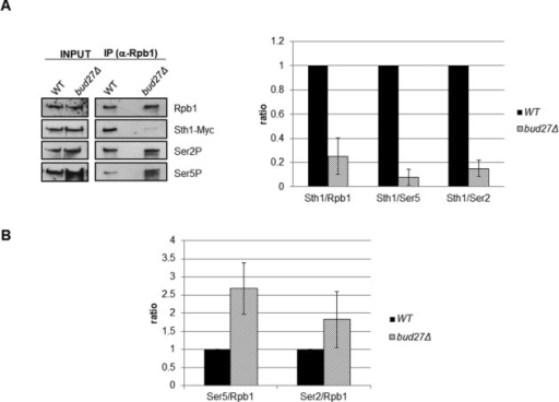 Lack of Bud27 affects the association between the RNA pol II and RSC chromatin remodeling complex. (A) The RNA pol II was immunoprecipitated with anti-Rpb1 antibody (8WG16), and Rpb1, Rpb1-CTDSer5P, Rpb1-CTDSer2P and Sth1-Myc were analysed by western blot with the antibodies indicated above in Sth1-Myc containing strains growing at 30ºC (left panel) in YPD medium. Ratios between Sth1 and Rpb1, Rpb1-CTDSer5P (Ser5) and Rpb1-CTDSer2P (Ser2) were calculated from the experiment in left panel (right panel). (B) Ratios between Rpb1-CTDSer5P (Ser5) or between Rpb1-CTDSer2P (Ser2) and Rpb1 were calculated from the experiment in A (left panel). Intensities of immunoreactive bands on western blots were quantified by densitometry using the software TOTALLAB from images acquired with office scanner. The data are the results of at least three different experiments.
