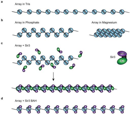 model for a sir3 chromatin fiber(a) diagram of a 12 mer open i  model for a sir3 chromatin fiber(a) diagram of a 12 mer array