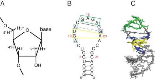 Sequence and structure of the sarcin/ricin loop (SRL) RNA molecule. (A) Numbering system for ribose hydrogen atoms. (B) Sequence and secondary structure of the SRL. Solid lines, Watson–Crick base pairs; broken line, sheared A-G base pair. Important features of the SRL are boxed: yellow, GUA base triple; blue, conserved residues flanking the GUA base triple; green, GNRA tetraloop. Nucleotides are numbered as referred to in the text. (C) Three-dimensional structure of the SRL (PDBID 1Q9A). Blue, yellow and green residues correspond to the color scheme in (B).