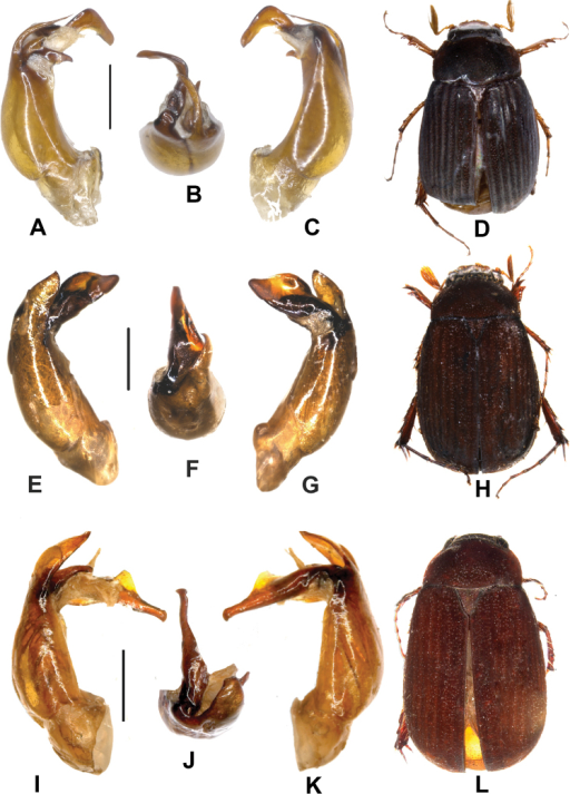 A–DNeosericakoelkebecki sp. n. (holotype) E–HNeosericaluxiensis sp. n. (holotype) I–LNeosericaailaoshanica sp. n. (holotype). A, E, I aedeagus, left side lateral view C, G, K aedeagus, right side lateral view B, F, J parameres, dorsal view D, H, L habitus. Scale: 0.5 mm. Habitus not to scale.