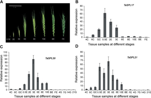 Real-time quantitative polymerase chain reaction analysis of TaSPL17 (B), TaSPL20 (C), and TaSPL21 (D) in wheat tissues at different stages 4C, 6C, and GC, shoot apical meristem at the four leaf, six leaf, and green-turning stages; 0.5E, 2E, 3E, 6E, 8E, and 10E, ears with different lengths, ranging 0.5–10 cm; BE and FE, ears at late booting stage and flowering stage (A); 4G, 7G, 14G, and 21G, grains at 4, 7, 14, and 21 d after flowering. Bar: 2 × SE.