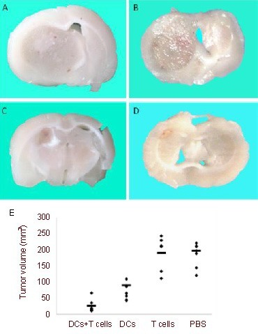 Vaccination with dendritic cells (DCs) and T cells significantly suppressed glioma growth.(A–D) Representative photographs of coronal sections of the tumor's largest diameter from animals treated with (A) PBS, (B) T cells alone, (C) DCs alone, or (D) DCs +T cells (n = 6) were shown on day 21 after tumor inoculation.(E) The volume of C6 gliomas was calculated. Immunization of rats with C6 lysate-pulsed DCs followed by adoptive transfer of T cells significantly suppressed the growth of the tumor compared with PBS group (P < 0.01, unpaired t-test). The horizontal lines represent the mean of each group.