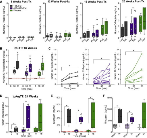 "Exposure to HFDs Does Not Affect the Function of hESC-Derived Pancreatic Endocrine Cells In VivoThe development of hESC-derived progenitor cells into pancreatic endocrine cells was assessed in mice fed a 10% fat (black), 45% or 60% fat (purple), or Western (green) diet. See Figure S2 for characterization of the progenitor cells pre-transplantation.(A) Human C-peptide levels were measured after an overnight fast and 40 min following an oral mixed-meal challenge (""fed"") at 8, 12, 16, and 20 weeks post-transplantation. ∗p < 0.05, paired t test (fast versus fed).(B and C) At 18 weeks post-transplantation, human C-peptide levels were measured during an i.p. glucose tolerance test (ipGTT). In (B) data are normalized to baseline levels, and in (C) raw levels (ng/ml) are presented for individual animals, with each diet group shown on a separate plot. ∗p < 0.05, one-way repeated-measures ANOVA (versus time 0).(D–F) At 24 weeks post-transplantation, an i.p. arginine tolerance test (ipArgTT) was performed. Plasma was collected after a 4-hr fast and 15 min following arginine administration to measure human insulin (D) and glucagon (E and F) levels. (E) shows glucagon levels at 0 and 15 minutes in transplant recipients, and (F) shows glucagon levels in sham-treated mice (Sham, striped bars) and transplant recipients (Tx, solid bars) at 15 minutes only. The red line indicates the lower limit of detection for the glucagon assay. (D and E) ∗p < 0.05, one-tailed paired t test (0 versus 15 min); (F) ∗p < 0.05, two-tailed t test (sham versus Tx). Data points from individual mice are shown as box-and-whisker plots.See also Table S2."
