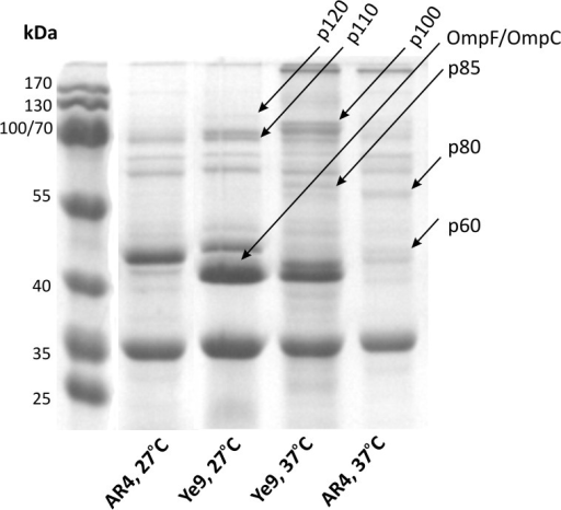Influence of OmpR activity on the Y. enterocolitica membrane protein profile.Proteins were isolated from strains Ye9 (wild type) and AR4 (ompR mutant) grown overnight in LB medium at 27°C or 37°C. In each case, 50 μg of protein were separated by SDS-PAGE and visualized by Coomassie blue staining. Putative OmpR-regulated proteins subsequently identified by LC-MS/MS are indicated by arrows. The bands were named according to their migration in the 12% polyacrylamide gel relative to the molecular weight standards.