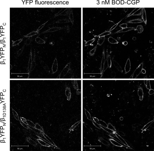 Cell surface expression of BiFC-constrained β1-adrenoceptor homodimers. Confocal images show binding of 3 nM BODIPY-TMR-CGP following 4-min association to CHO-K1 cells transiently expressing BiFC-constrained wild-type β1-adrenoceptor homodimers (β1YFPN/β1YFPC; upper panel) and BiFC-constrained β1-adrenoceptor homodimers containing 1 wild-type and 1 nonligand-binding protomer (β1YFPN/β1D138AYFPC; lower panel). The fluorescence of the complimented YFP was measured simultaneously to confirm the cell surface expression of β1-adrenoceptor homodimers. Images are representative of 5 separate experiments. Scale bars, 50 μm. The binding of BODIPY-TMR-CGP in the lower right confirms that the β1YFPN/β1D138AYFPC dimer pairs contain a viable single orthosteric binding site.