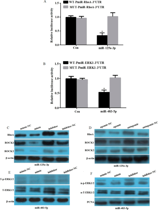 RhoA and ERK1 are the respective target genes of miR-125a-3p and miR-483-5p.(A) Dual-luciferase reporter plasmid containing human wild-type (WT-Pmir-RhoA-3′-UTR) or mutant RhoA-3′-UTR (MUT-Pmir-RhoA-3′-UTR) was cotransfected with the miR-125a-3p mimic (100 nM) or nontarget control (NC), respectively. Firefly and renilla luciferase activity was determined and normalized to firefly luciferase activity. (B) Dual-luciferase reporter plasmid containing human wild-type (WT-Pmir-ERK1-3′-UTR) or mutant RhoA-3′-UTR (MUT-Pmir-ERK1-3′-UTR) was cotransfected with the miR-483-5p mimic (100 nM) or nontarget control (NC), respectively. Firefly and renilla luciferase activity was determined and normalized to firefly luciferase activity. (C) hADSCs were transfected with the miR-125a-3p mimic, inhibitor, and controls for 72 h. Total protein was extracted for immunoblotting of RhoA and ROCK1. (D) hADSCs were transfected with the miR-125a-3p agomir, antagomir, and controls for 72 h, and induced to mature adipocytes for 12 days. Total protein was extracted for immunoblotting of RhoA and ROCK1. (E) hADSCs were transfected with the miR-483-5p mimic, inhibitor, and controls for 72 h. Whole cell protein was extracted for immunoblotting to detect total ERK1/2 (T-ERK1/2) and total phosphorylated ERK1/2 (T-p-ERK1/2). (F) hADSCs were transfected with the miR-483-5p mimic, inhibitor, and controls for 72 h. Whole nuclear protein was extracted to detect nuclear total ERK1/2 (n-T-ERK1/2) and nuclear phosphorylated ERK1/2 (n-p-ERK1/2).*p < 0.05, compared to 293T cells transfected with miR control mimics. All measurements were preformed by three independent experiments.
