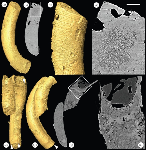SRXTM images of the tubular fossil Crassitubus. (a) SRXTM surface model of Crassitubus specimen X 5328; (b) longitudinal SRXTM slice through the specimen in (a), the region in the box is enlarged in (d); (c) SRXTM surface model of the specimen in (a) showing the exterior of the specimen in the region of the structure shown in (d), note that the former positions of cross walls are visible; (d) higher magnification image of boxed region in (g) showing a nearly spherical structure composed of sub-angular objects close to the end of the tube; (e) SRXTM surface model of Crassitubus specimen X 5329; (f) SRXTM surface model of the specimen in (e) in a different orientation; (g) SRXTM slice through the specimen in (e), the boxed region is enlarged in (h); (h) higher magnification image of the boxed region in (g), arrowhead indicates a similar structure to that shown in (d). Scale bars: (a,b) 137 µm; (c) 62 µm; (d) 26 µm; (e–g) 200 µm; (h) 50 µm. (Online version in colour.)