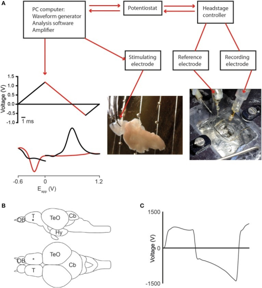Fast scan cyclic voltammetry (FCSV) setup and position of the stimulating- and recording electrodes. (A) Diagram showing components of the FSCV setup and the position of the recording electrode in the adult zebrafish brain. The applied voltage waveform (top graph) and a representative cyclic voltammogram for dopamine (lower graph) are also shown, with the forward scan in black and the reverse scan in red. (B) Schematic representation showing a lateral and dorsal view of the adult zebrafish brain. The black asterisk marks the position of the recording electrode in the telencephalon. (C) Diagram showing characteristic non-Faradaic background signal that is subtracted to generate the background-subtracted voltammograms shown throughout the paper. Abbreviations: Cb, cerebellum; Hy, hypothalamus; OB, olfactory bulb; T, telencephalon; TeO, optic tectum.