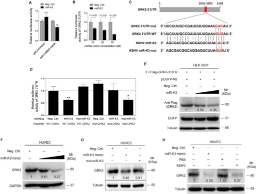 GRK2 is directly targeted by miR-K3.(A). Luciferase activity was detected in HEK 293T cells co-transfected by a mimic of miR-K3 (miR-K3) or a negative control nucleotide of miRNA (Neg. Ctrl.) together with pGL3-Control or pGL3-GRK2 3'UTR luciferase reporter (pGL3-GRK2 3'UTR). ** P < 0.01 for Student's t-test. n.s., not significant. (B). Luciferase assay of 293T cells co-transfected by pGL3-GRK2 3′UTR together with increasing amounts (10, 20, and 50 nM) of miR-K3. (C). Schematic illustration of the putative seed sequences of miR-K3 complementary with GRK2 3'UTR and mutagenesis of binding sites in the 3'UTR of GRK2. (D). The luciferase activity was assayed in 293T cells co-transfected by GRK2 wild type 3'UTR (WT GRK2) or the mutant GRK2 3'UTR construct (mut GRK2) together with miR-K3 or mutant miR-K3 mimic (mut miR-K3). * P < 0.05 and ** P < 0.01 for Student's t-test. (E). miR-K3 inhibited the expression of exogenous GRK2 protein by targeting its native 3'UTR. Western blotting was performed in HEK 293T cells co-transfected by pcDNA3.1–3×Flag-GRK2-3'UTR together with pEGFP and increasing amounts (10 and 20 nM) mimic of miR-K3. (F). miR-K3 inhibited the expression of endogenous GRK2 protein in HUVEC transfected with increasing amounts (10 and 20 nM) mimic of miR-K3. (G). Mutant miR-K3 failed to target endogenous GRK2. Western blotting was performed in HUVEC transfected by Neg. Ctrl., miR-K3 mimic (20 nM) or mut miR-K3 lacking the seed sequences. (H). Transfection of miR-K3 mimic (20 nM) has the same inhibition level on GRK2 expression as that of KSHV infection.