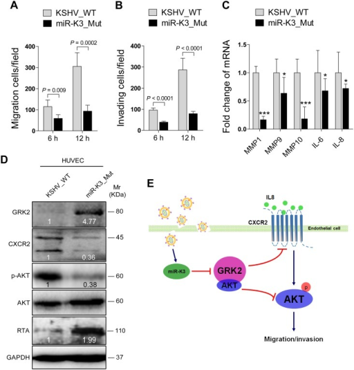 Deletion of miR-K3 from the KSHV genome attenuates KSHV induction of endothelial cell migration and invasion.(A). Transwell migration assay for HUVEC infected with BAC16 KSHV wide type virus (KSHV_WT) or BAC16 KSHV miR-K3 deletion mutant virus (miR-K3_Mut). * P < 0.05, ** P < 0.01 and *** P < 0.001 for Student's t-test. (B). Matrigel invasion assay for HUVEC treated as in (A). * P < 0.05, ** P < 0.01 and *** P < 0.001 for Student's t-test. (C). The mRNA expression of MMP1, 9, 10 and IL-6, 8 in HUVEC treated as in (A) were determined by RT-qPCR. (D). Western blotting analysis of expression of GRK2, CXCR2, phosphorylated AKT, and KSHV RTA in HUVEC treated as in (A) with the indicated antibodies. (E). Schematic representation of the mechanism by which miR-K3 facilitates endothelial cell migration and invasion.